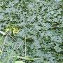 何枚にも葉っぱが立ち上がった菱カバー