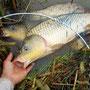 団子餌で釣り上げた野鯉