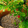 薔薇の鉢植えの土に付いて来た蛇イチゴ