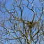 カワウの巣と卵を抱いた親鳥