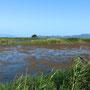 梅雨入り半月後、低温日照不足そして雨続きのため、菱の成長不足と浮き草の夏枯れ(酸素不足?)