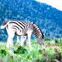 Freitag, 08.04.2016:  Manche  Zebras  stellen sich  freiwillig  hinter Gitter,  damit sie  aussehen  wie ein  weißes Pferd.