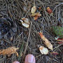 9月上旬 アカマツの種をリスが食べた痕 長野原町