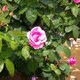 薔薇  香りがすごかった