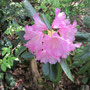 火燈山に咲くシャクナゲ、今年は少ない。