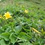夏の花、ニッコウキスゲ