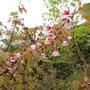 標高2,000mに咲く可愛いサクラです。