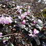 あちこちに咲いていたイワウチワ
