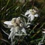 Les edelweiss de Bossetan