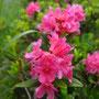 Les rhodos commencent à fleurir