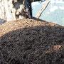 Stattlicher Ameisenhaufen