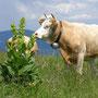 Die zwei typischsten und häufigsten Jurabegleiter, Gelber Enzian und Rind auf dem Gipfel vom Tete de Ran