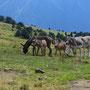Nicht nur Rinder begegnen uns in diesem riesigen Alpgebiet