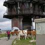 Die Rinder umlagern den fast hundert Meter hohen Sendeturm auf dem Chasseral