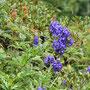 Der tödlich giftige Blaue Eisenhut