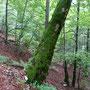wunderbar mit Moos bewachsener Baum
