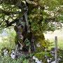 wieder einmal beim schönsten Baum im Kampfwandergebiet