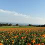 das grosse Ringelblumenfeld auf dem Reckenacker