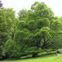 Dieser Riesenbaum ist eine Linde