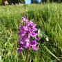 Vermutlich Orchis mascula, das Männliche Knabenkraut, eine einheimische Orchidee