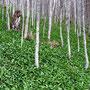 Der Bärlauch leuchtet grün während die Bäume noch ganz kahl sind