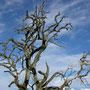 Kirschbaum ohne Blätter