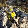 Langsam zeigen sich wieder blühende Pflanzen zwischen den Felsritzen