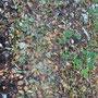 Infolge der trockenen Witterung fallen die Blätter von den Bäumen bevor sie sich verfärben