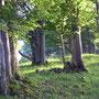 Knorrige Jura - Buchen