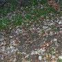 In diesem Bildausschnitt stehen mehrere tödlich giftige Herbstzeitlosen im Bärlauch