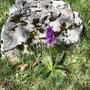 Das Gefleckte Knabenkraut, eine einheimische Orchidee