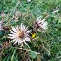 Die prächtigen Disteln zeigen, dass der Herbst nicht mehr weit ist