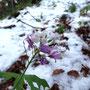 Die blühende Pflanze trotzt der Kälte und dem Schnee