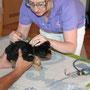 Havaneser Welpen werden geimpft