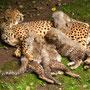 Gepardenmama & 4 Babies