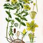 Millepertuis perforé (Hypericum perforatum ) Plantes sauvages comestibles et médicinales de Nouvelle Aquitaine