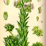 Joubarbe des toits (Sempervivum tectorum) Plantes sauvages comestibles et médicinales de Nouvelle Aquitaine