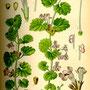 Lierre terrestre (Glechoma hederacea) Plantes sauvages comestibles et médicinales de Nouvelle Aquitaine