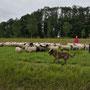 schapenhoeden