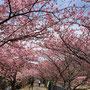 河津桜まつり 花はカンヒザクラとオオシマザクラの自然交配 早咲き桜