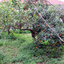 Zitronen und Orangen am gleichen Baum, und das im Februar