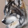 Loup gris/Grey wolf  - Pastels secs crayons et bâtons Conté de Paris (2%) et Derwent (98%) - A4 - Papier couleur Canson 160g - Octobre 2014