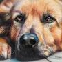 Chien/Dog - Crayons pastel/Pastel pencils Derwent - A4 - Papier couleur Canson 160g - Octobre 2014 - Crédit photo : Bigandt