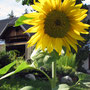 Sonnenblume im Garten