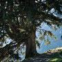 ein mächtiger Nadelbaum