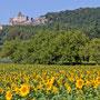 Veld met zonnebloemen Frankrijk 2011