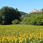 Zonnebloemen Frankrijk 2011