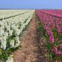 Bollenveld Noord Holland 2009