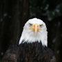 Weißkopfseeadler Foto K-H Kuhn