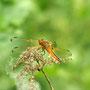 Spitzenfleckfleck-Libelle.  Foto K-H Kuhn